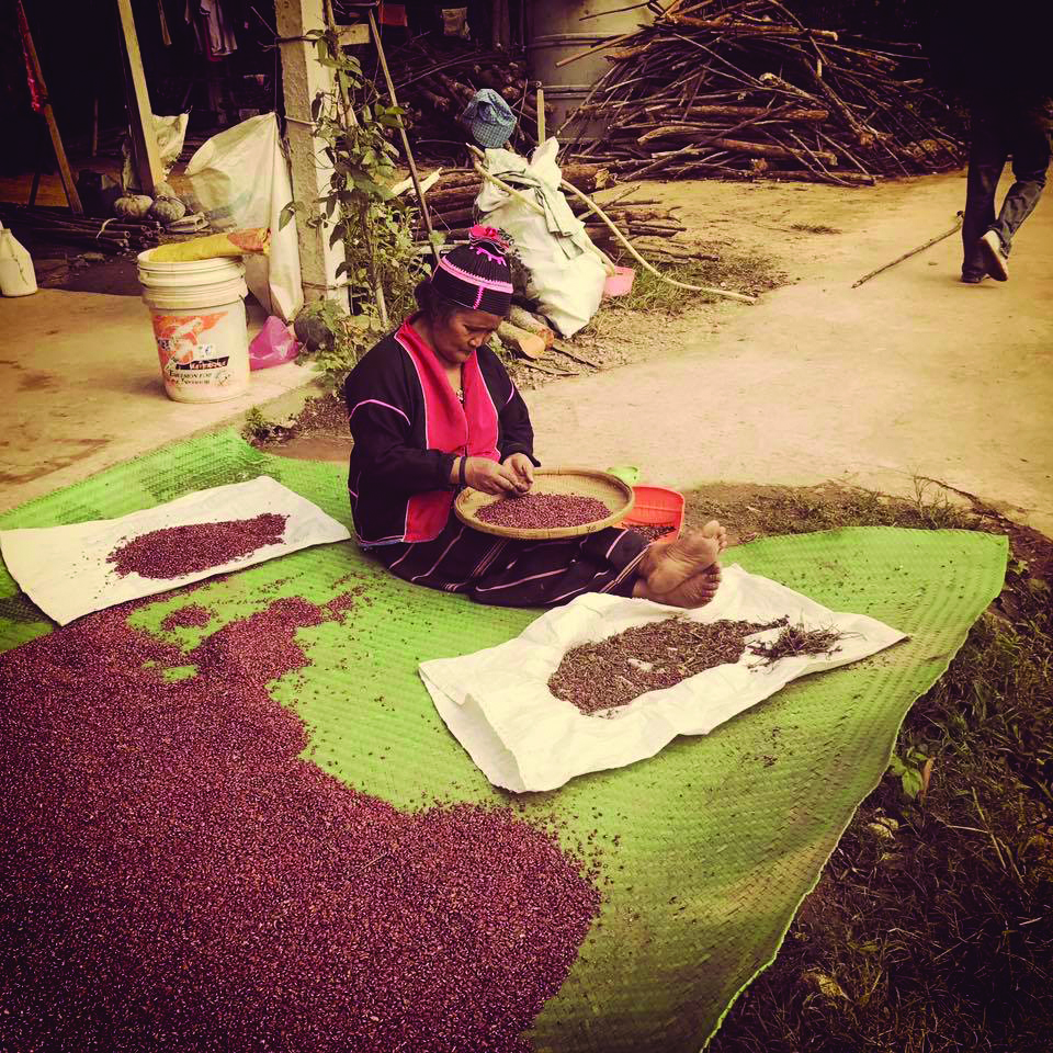 Woman collecting rice bean seeds