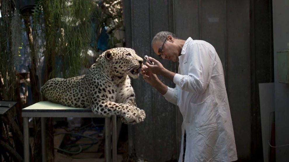 In this Sunday, May 28, 2017 photo, taxidermist Igor Gavrilov works on a stuffed leopard to be displayed at the Steinhardt Museum of Natural History in Tel Aviv, Israel. Israel is opening a new national natural history museum in Tel Aviv in the wake of a public debate over evolution. The ultra-modern facility houses over 5.5 million specimens of species from around the world, and aims to raise public awareness about the natural world and environment, with especial emphasis on the local ecology. (AP Photo/Oded Balilty)